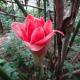 Etlingera Elatior (Tulip Torch)