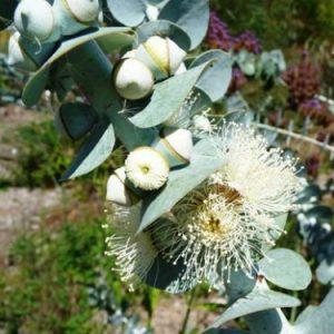 Eucalyptus Pulverulenta Silver Mountain Gum