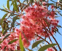 Eucalyptus Torquata Coral Gum