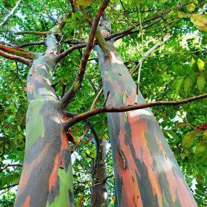 Eucalyptus Delgupta Rainbow