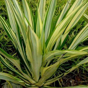 Furcraea Watsonia Foetida False Agave