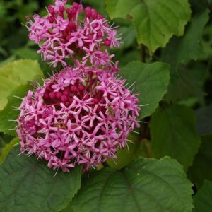 Clerodendrum Bungei Glory Bower