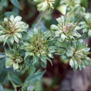 Green Rose Chinesis Viridiflora
