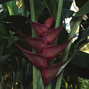 Heliconia Caribaea (Black Magic)