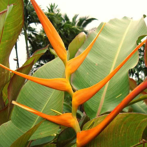 Heliconia Lathispatha Orange Gyro