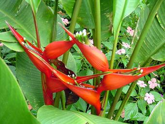 Heliconia Stricta Bucky
