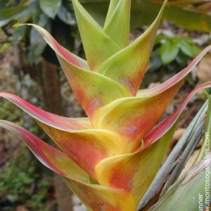 Heliconia Caribaea Flash