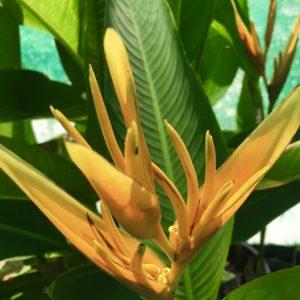 Heliconia Spathocircinata Golden Torch