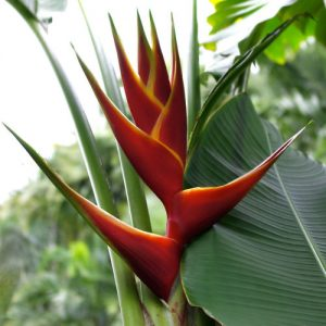 Heliconia Caribaea Richmond Red