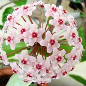 Hoya Carnosa Sweet Pea