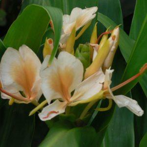 Hedychium Kinkaku