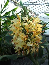 Hedychium Beni-Oran