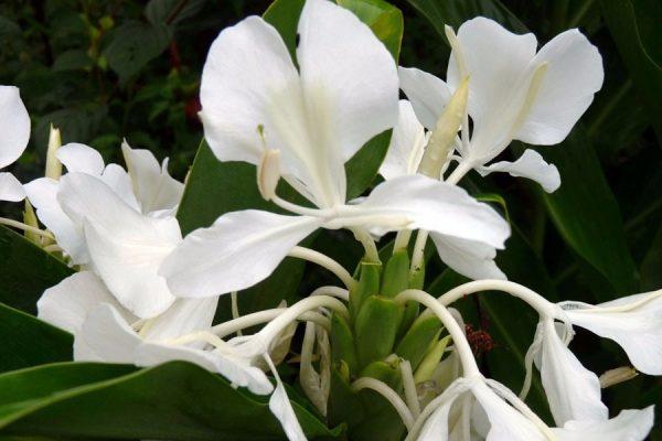 Hedychium Coronarium Maximum