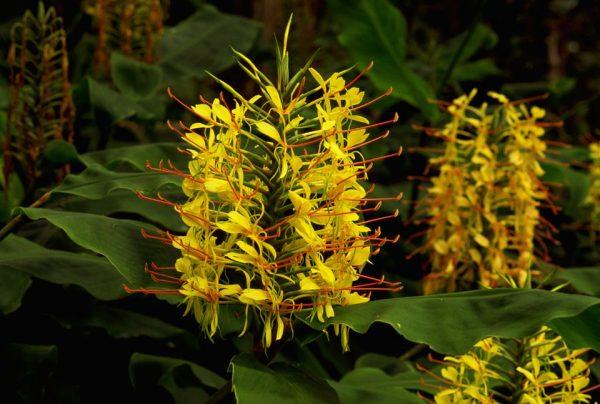 Hedychium Gardnerianum Kahili Ginger