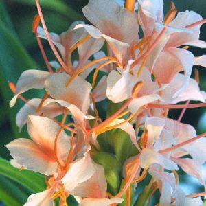 Hedychium Hybrid Pink Flame