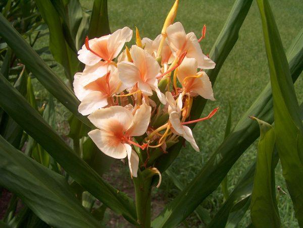 Hedychium Apricot