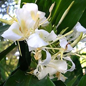 Hedychium Hybrid  White Starburst