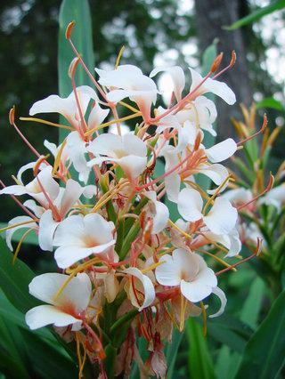 Hedychium Pradhamii