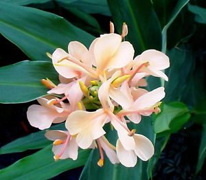 Hedychium Gahilii