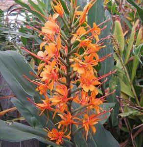 Hedychium Thai Spirit