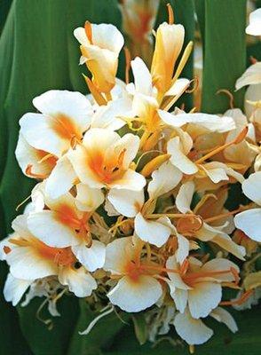 Hedychium Kahili Ann