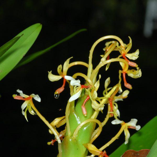Hedychium Muluense Dwarf Borneo