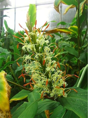 Hedychium Gracilis