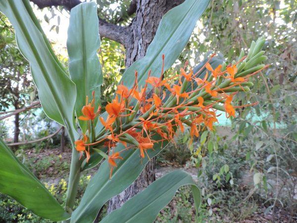 Hedychium Raffilii