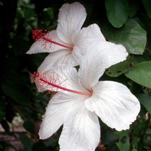 Hibiscus Arnottianus Kokia Keokeo Native White