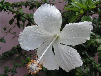 Hibiscus Malvaceae Swan Lake