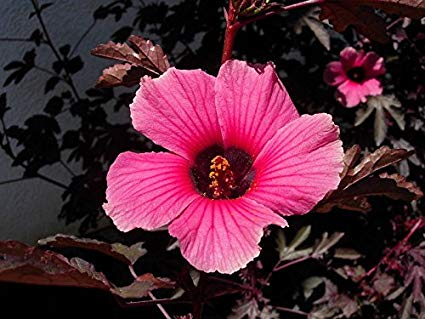 Hibiscus Acetosella African Rose Mallow
