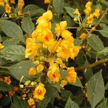 Impatien Auricoma Jungle Gold