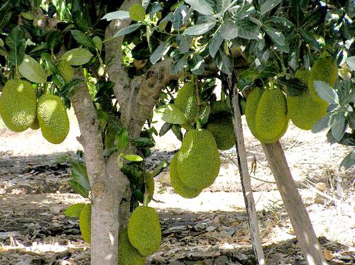 Artocarpus Heterophyllus Jack Fruit