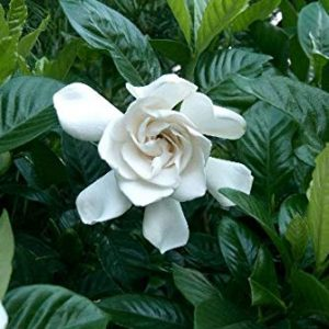 Jasminoides Gardenia Mystery