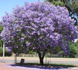 Jacaranda Mimosifolia Jacaranda