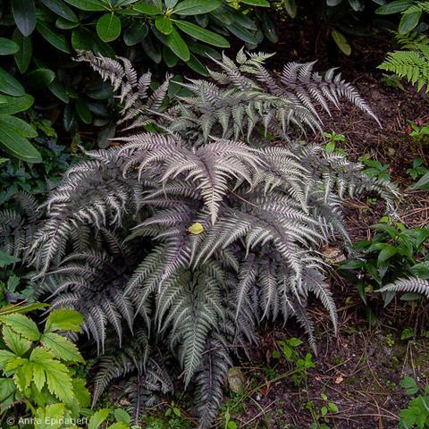 Athyrium Niponicum Japanese Painted Fern