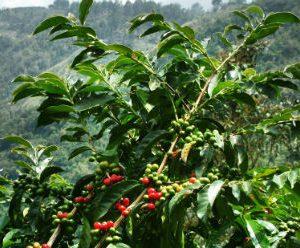 Kona Coffee Arabica