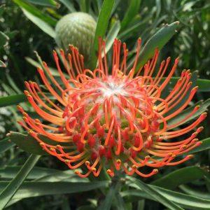 Leucospermum Cordifolium Orange Pincushion