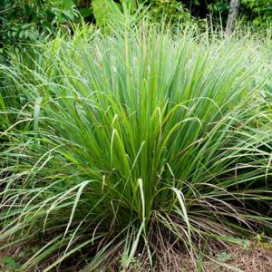 Cymbopogon Flexausus Lemon Grass