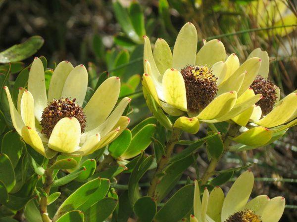 Leucadendron Discolor Cone Flower