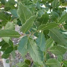 Laurus Nobilis Bay Leaf