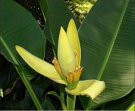 """Musa """"Siam Yellow Banana"""""""