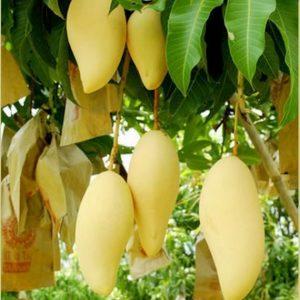 Mango Nam Dok Mai