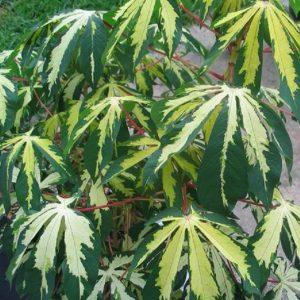 Manihot Esculenta Var. Tapioca Cassava