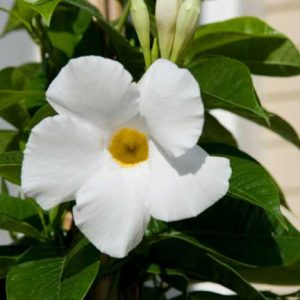 Mandevilla White Delight