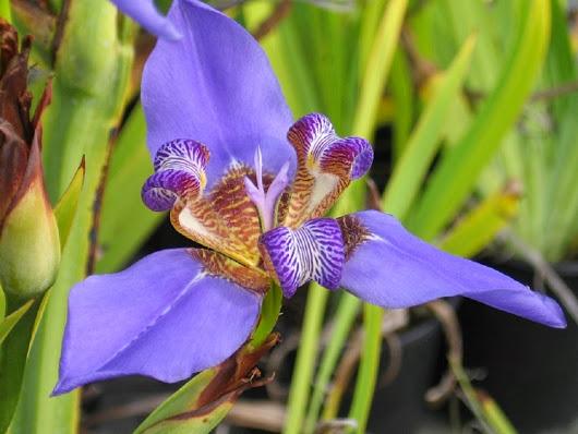 Neomarica Caerulea Iris Regina