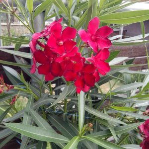 Nerium Oleander (Hardy Red)
