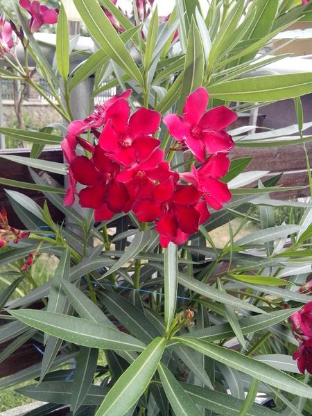 Nerium Oleander (Hardy Red)