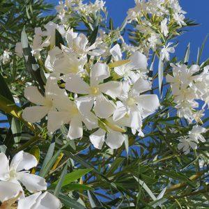Nerium Oleander (Sister Agnus)