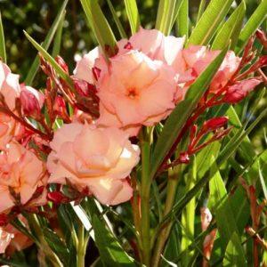 Nerium Oleander (Mrs. George Roeding)